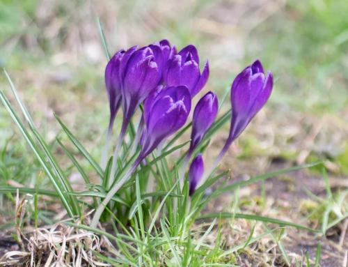 پرورش گل زعفران بهاری