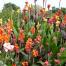 پرورش و نگهداری گل اختر
