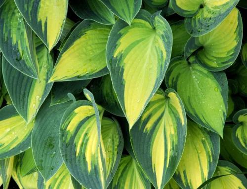 گیاه هوستا یا سوسن پلانتین – راهنمای نگهداری و پرورش