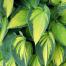 راهنمای نگهداری و پرورش گیاه هوستا