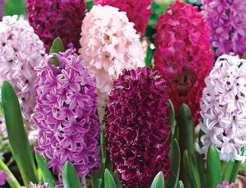 6 پیاز گل آسان برای پرورش در بهار