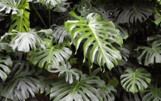 نگهداری و پرورش گیاه مانسترا برگ انجیری