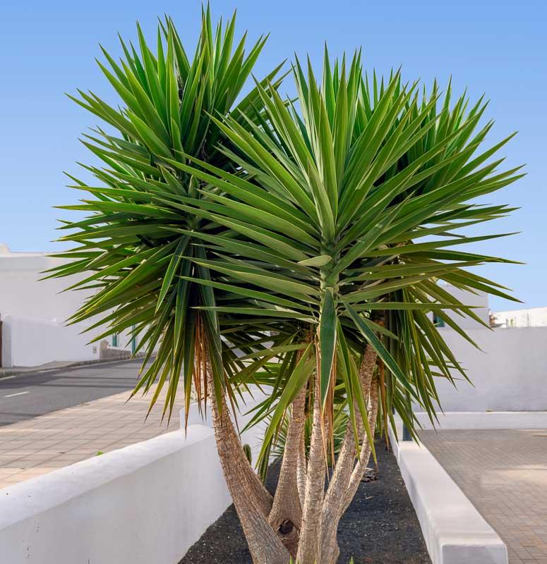یوکا نژاد Y. aloifolia