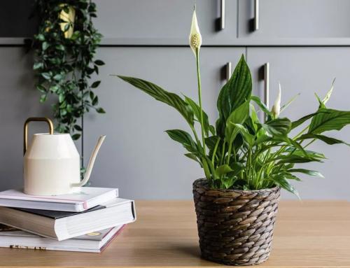 گل چمچه ای یا اسپاتی فیلوم – راهنمای پرورش و نگهداری