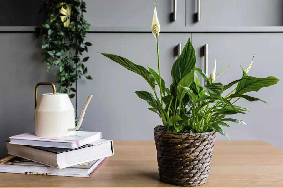 راهنمای نگهداری و پرورش گل چمچمه ای