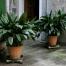راهنمای نگهداری و پرورش گیاه برگ عبایی