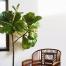 راهنمای پرورش و نگهداری گیاه فیکوس لیراتا
