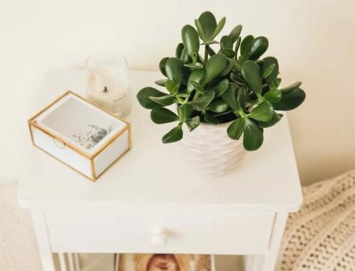 گیاه یشم – راهنمای کامل نگهداری و پرورش