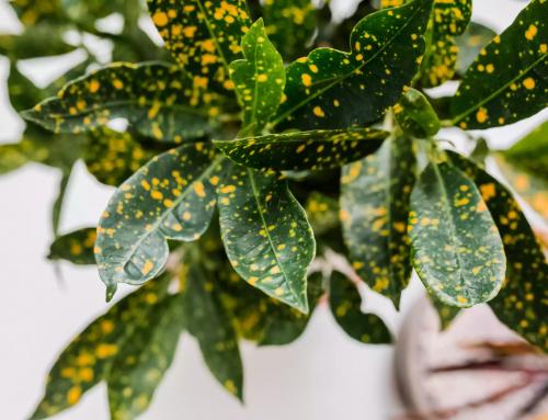 گیاه کروتون یا کرچک هندی – راهنمای نگهداری و پرورش