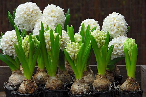 گل سنبل Carnegie