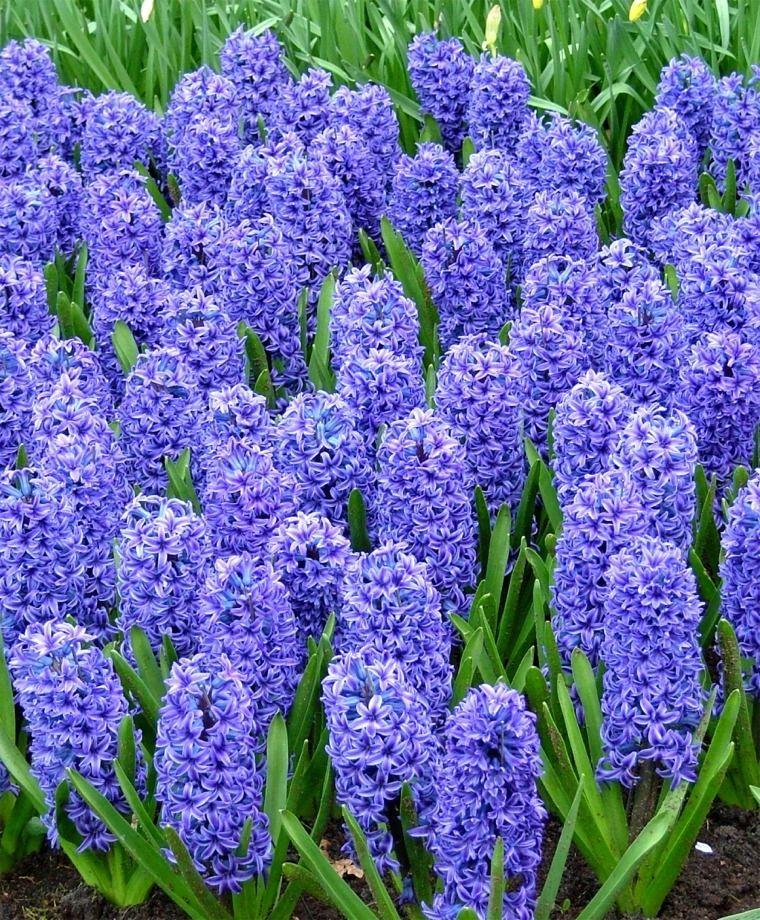 گل سنبل Hyacinth Orientalis 'Blue Jacket'