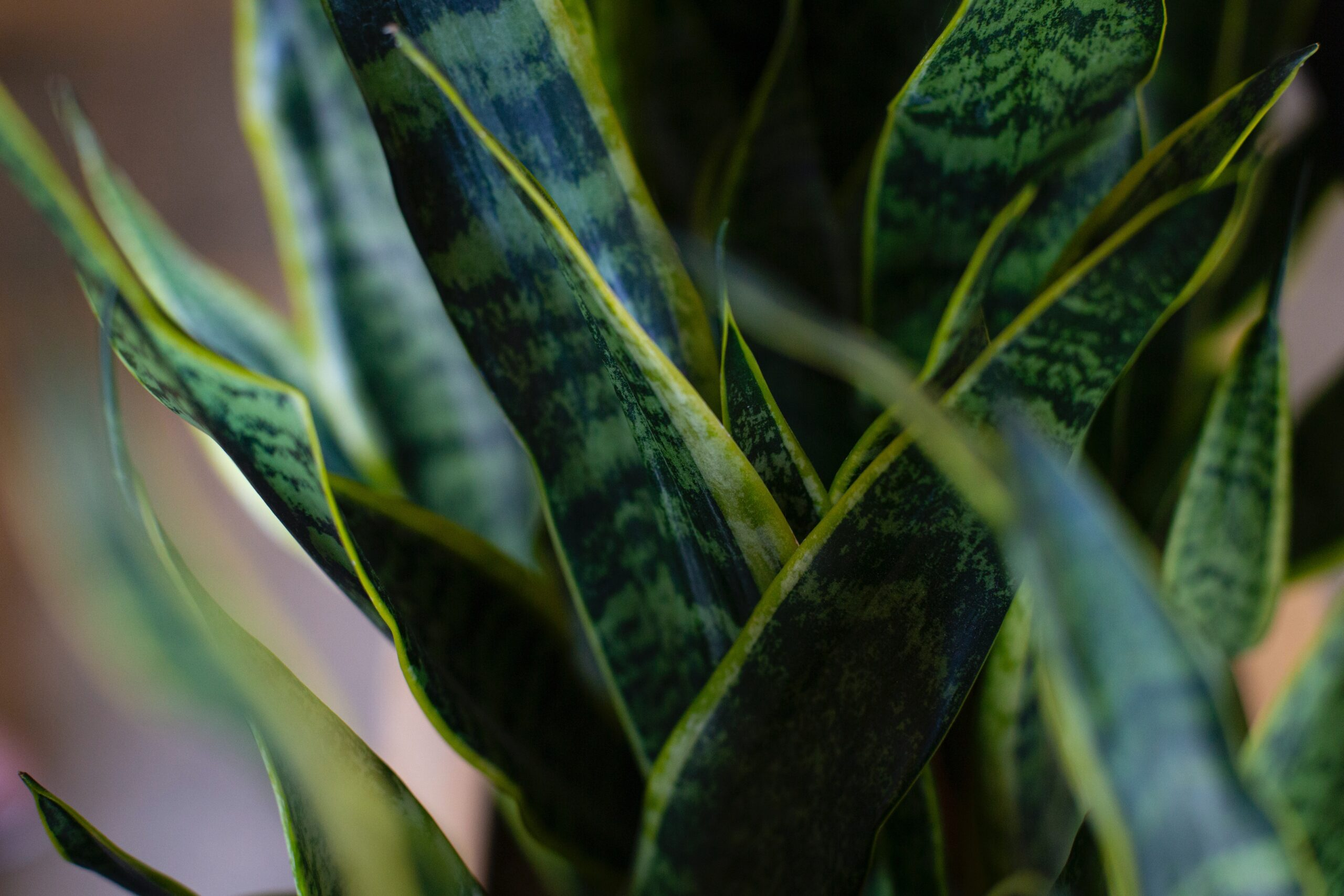 گیاه سانسوریا