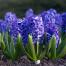 پرورش و نگهداری گل سنبل