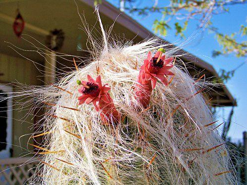 گل کاکتوس پیرمرد