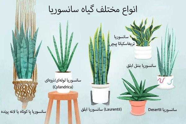انواع مختلف گیاه سانسوریا