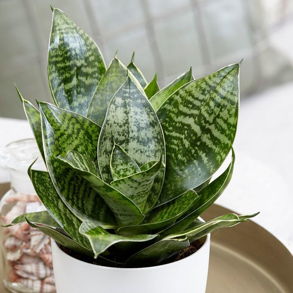 سانسوریا 'Hahnii' (گیاه سانسوریا پا کوتاه یا لانه پرنده)