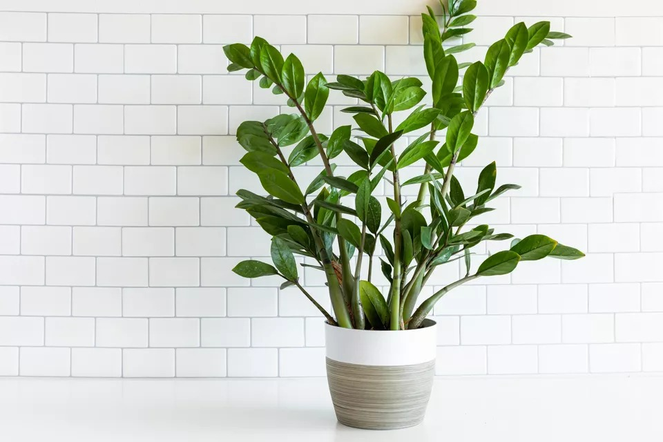 نگهداری و پرورش گیاه زاموفیلیا