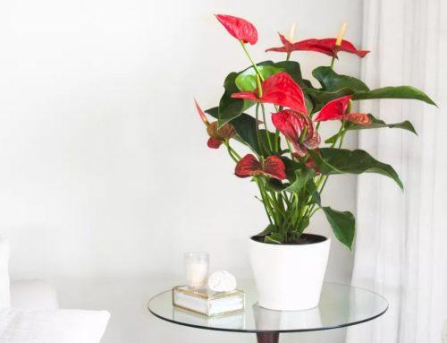 معرفی گیاه آنتوریوم یا درفش گیاه
