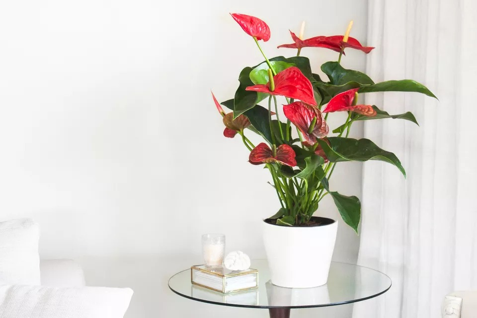راهنمای نگهداری و پرورش گل آنتوریوم یا درفش گیاه