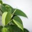 راهنمای پرورش و نگهداری گیاه فیلودندرون