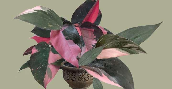 فیلودندرون نوع Erubescens