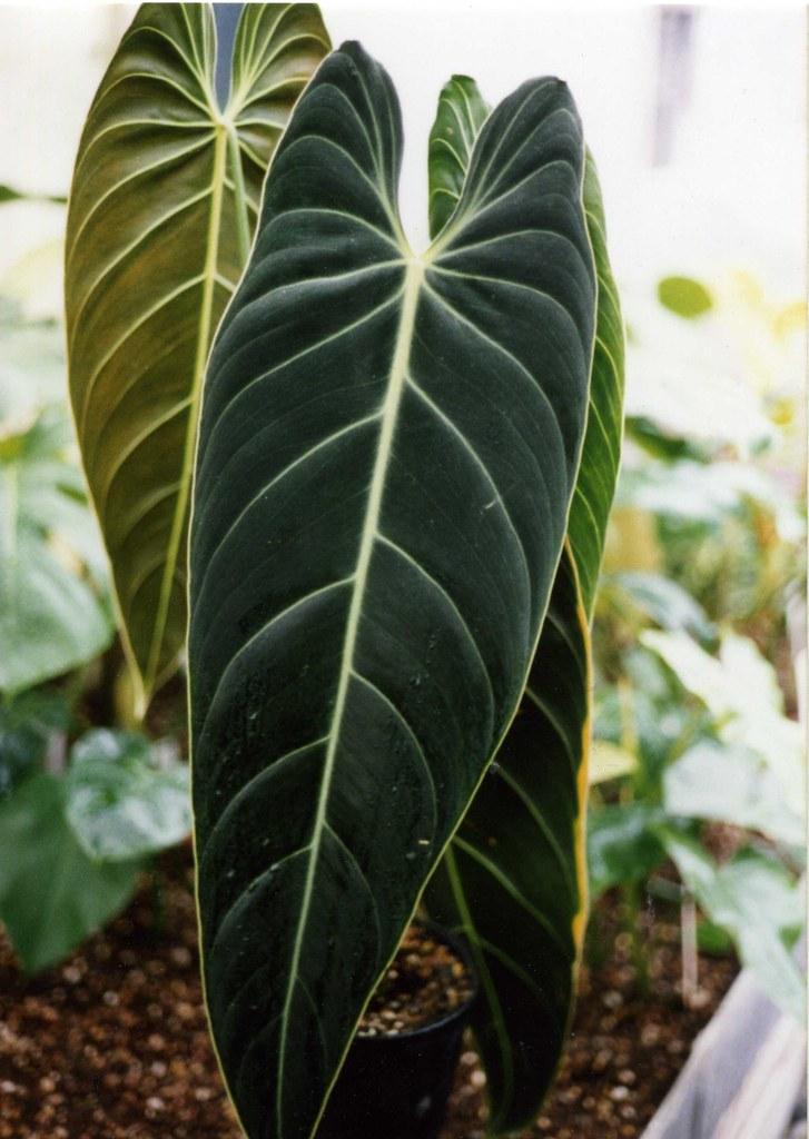 فیلودندرون نوع melanochrysum