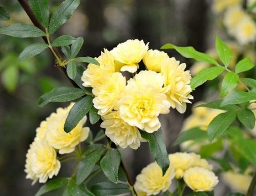 رز آبشار طلایی – راهنمای نگهداری و پرورش