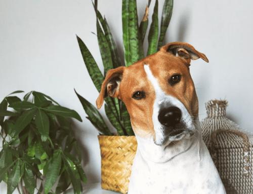 9 گیاه خانگی که برای سگ ها سمی هستند