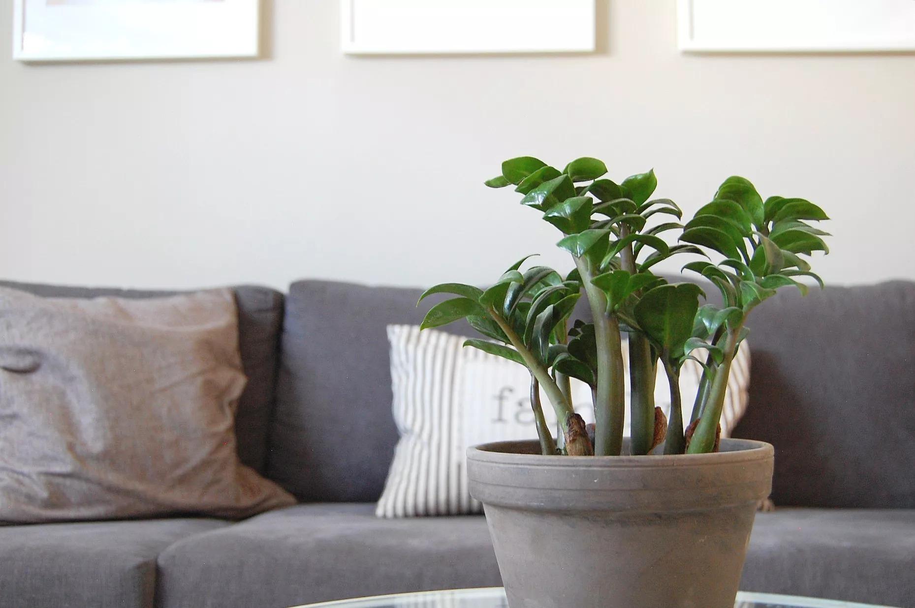گیاهان سمی برای حیوانات خانگی - زاموفیلیا