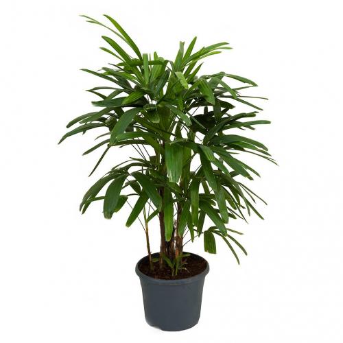لیدی پالم - Lady Palm - فلورا گاردن (1)