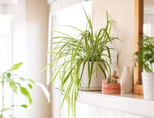 گیاه گندمی – راهنما نگهداری و مشخصات کامل