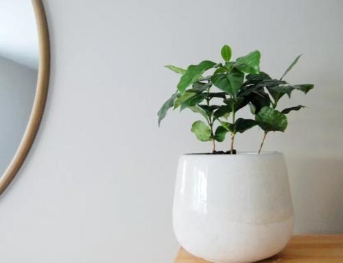 گیاه قهوه – معرفی و راهنمای نگهداری در خانه