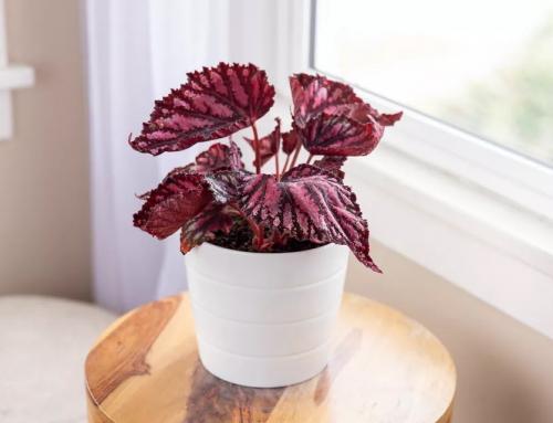 گیاه بگونیا رکس – معرفی و راهنمای نگهداری
