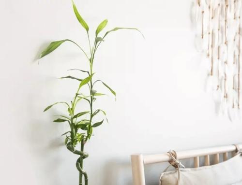 نگهداری گیاه بامبو در گلدان و خاک