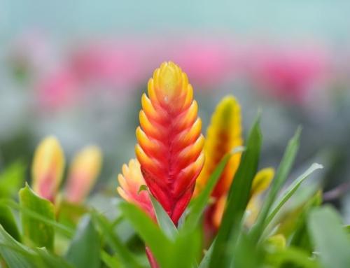 ورزیا دوالیانا – معرفی و راهنمای نگهداری گیاه