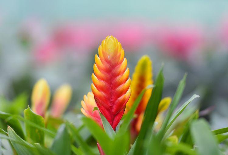 ورزیا دوالیانا (Vriesea duvaliana) - معرفی گیاه و راهنمای نگهداری