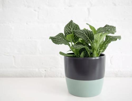 گیاه فیتونیا یا گیاه عصب – راهنمای نگهداری و  پرورش
